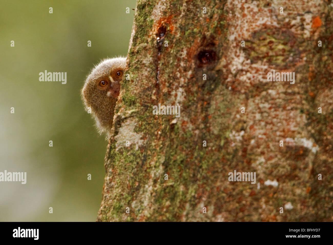 Un mono encaramado en un árbol en la Amazonía del Ecuador. Imagen De Stock