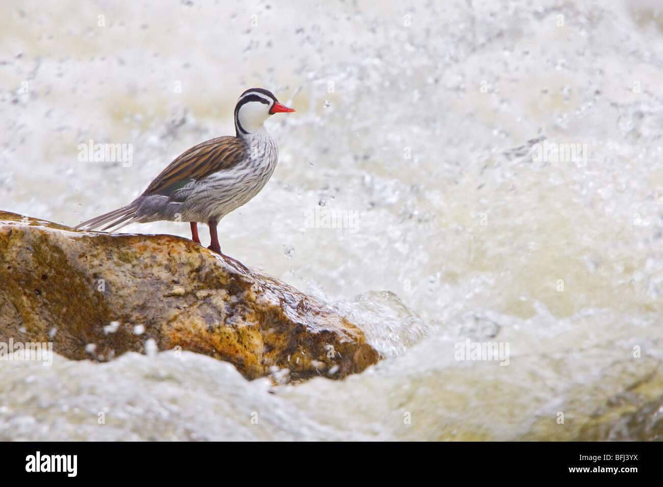 Pato de los torrentes (Merganetta armata) posado sobre una roca junto a un rápido riachuelo en el altiplano Imagen De Stock
