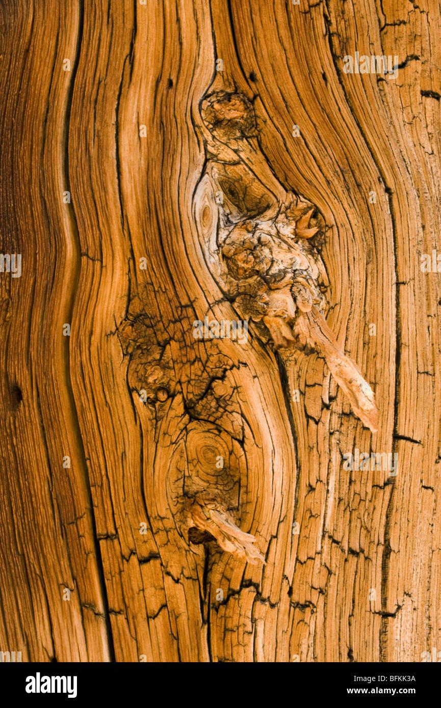Pino bristlecone (Pinus longaeva) Detalle de texturas de madera antigua, Methuselah Grove, White Mountains, California Imagen De Stock