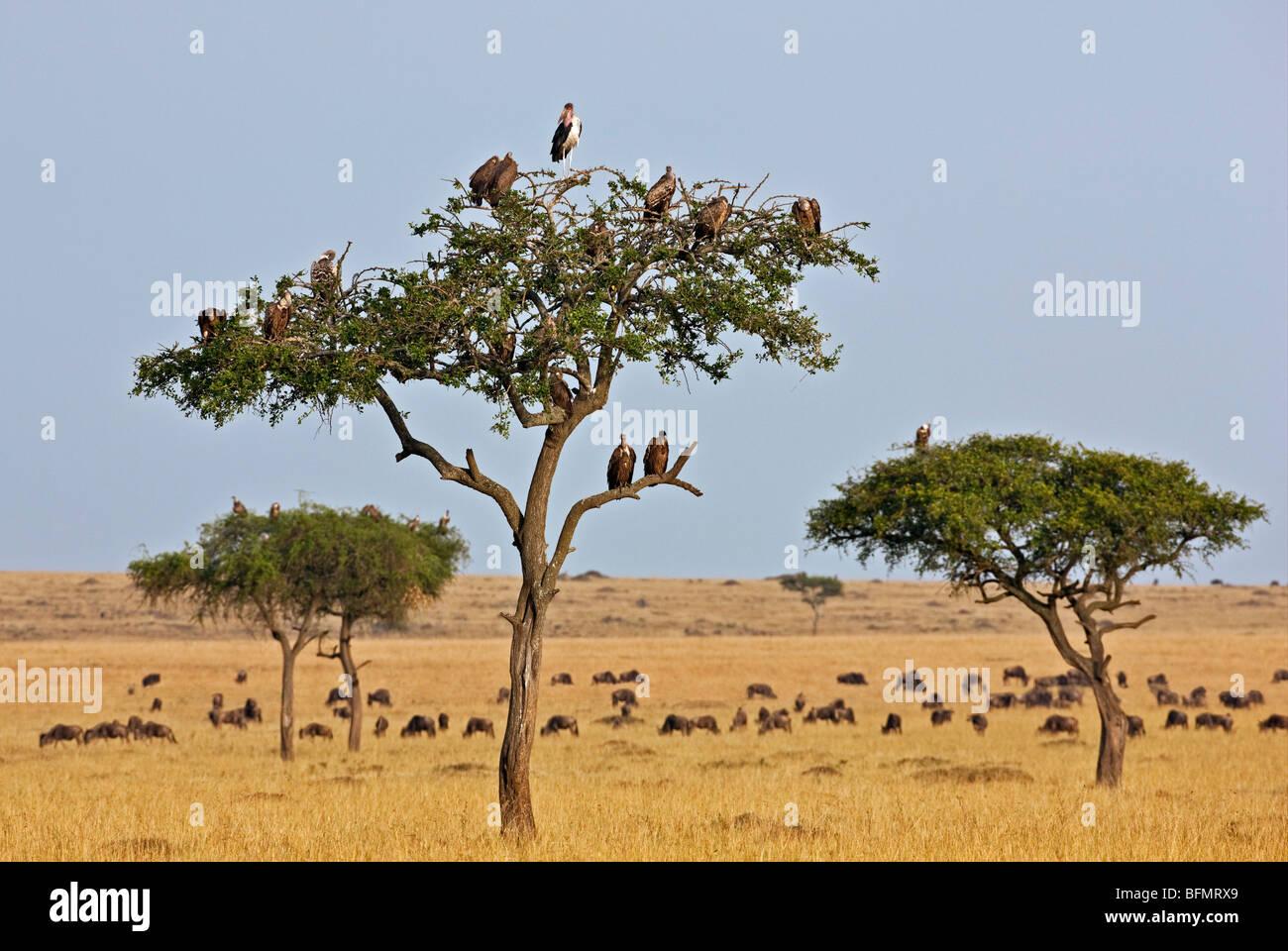 Kenya. Los buitres y marabou stork posarse en los árboles cercanos a una manada de ñus en la Reserva Nacional Imagen De Stock