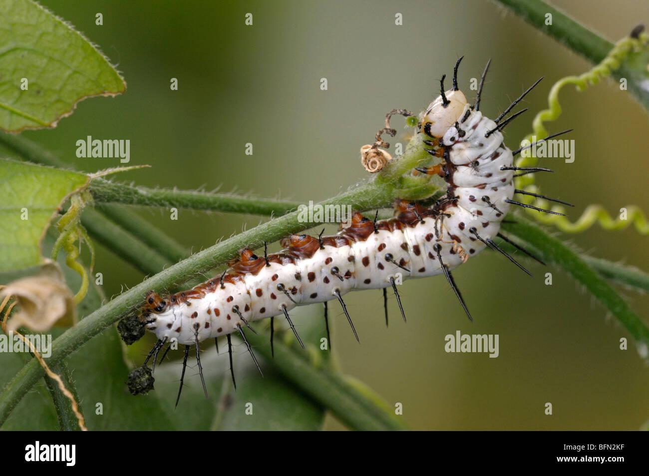 Cebra, cebra Longwing Butterfly (Heliconius charithonia). Caterpillar Passiflora alimentándose de una hoja. Foto de stock