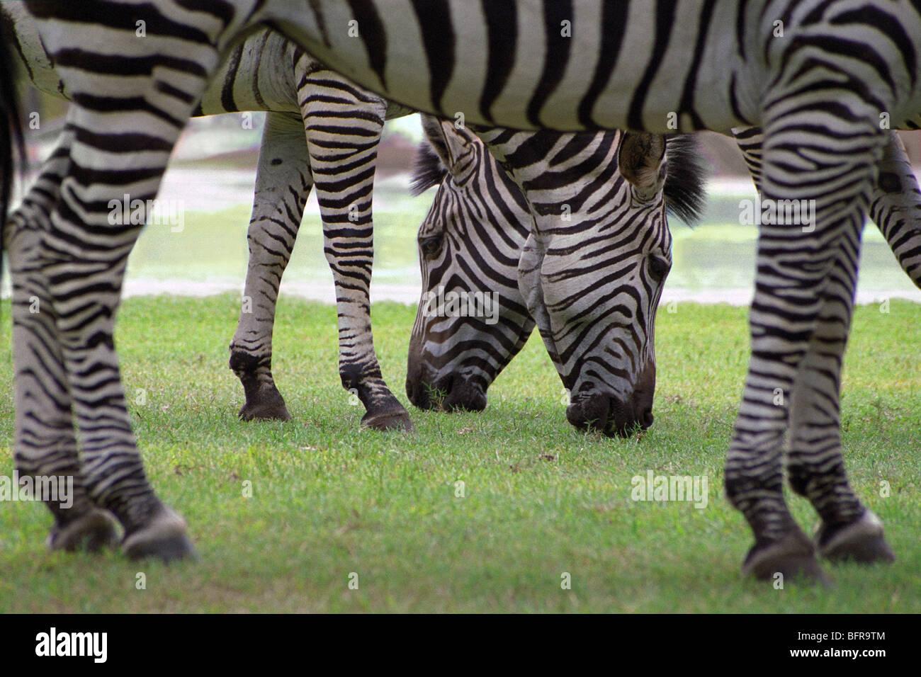 Zambia Zebra African Animal Imágenes De Stock & Zambia Zebra African ...