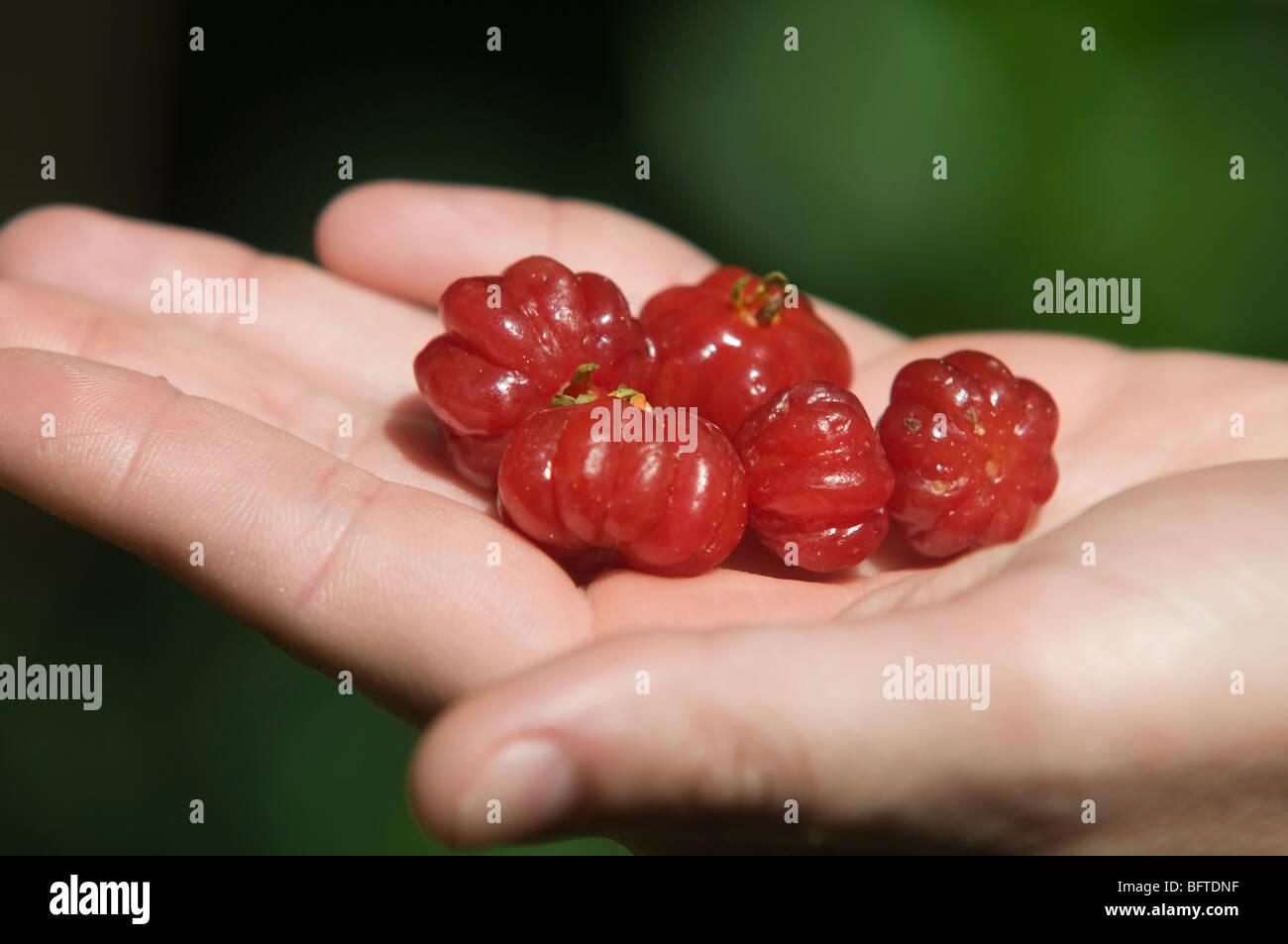 Pitanga es una deliciosa fruta que crece en Brasil. Se utiliza para el zumo, helado, alcohol brevages. Es rico en Imagen De Stock