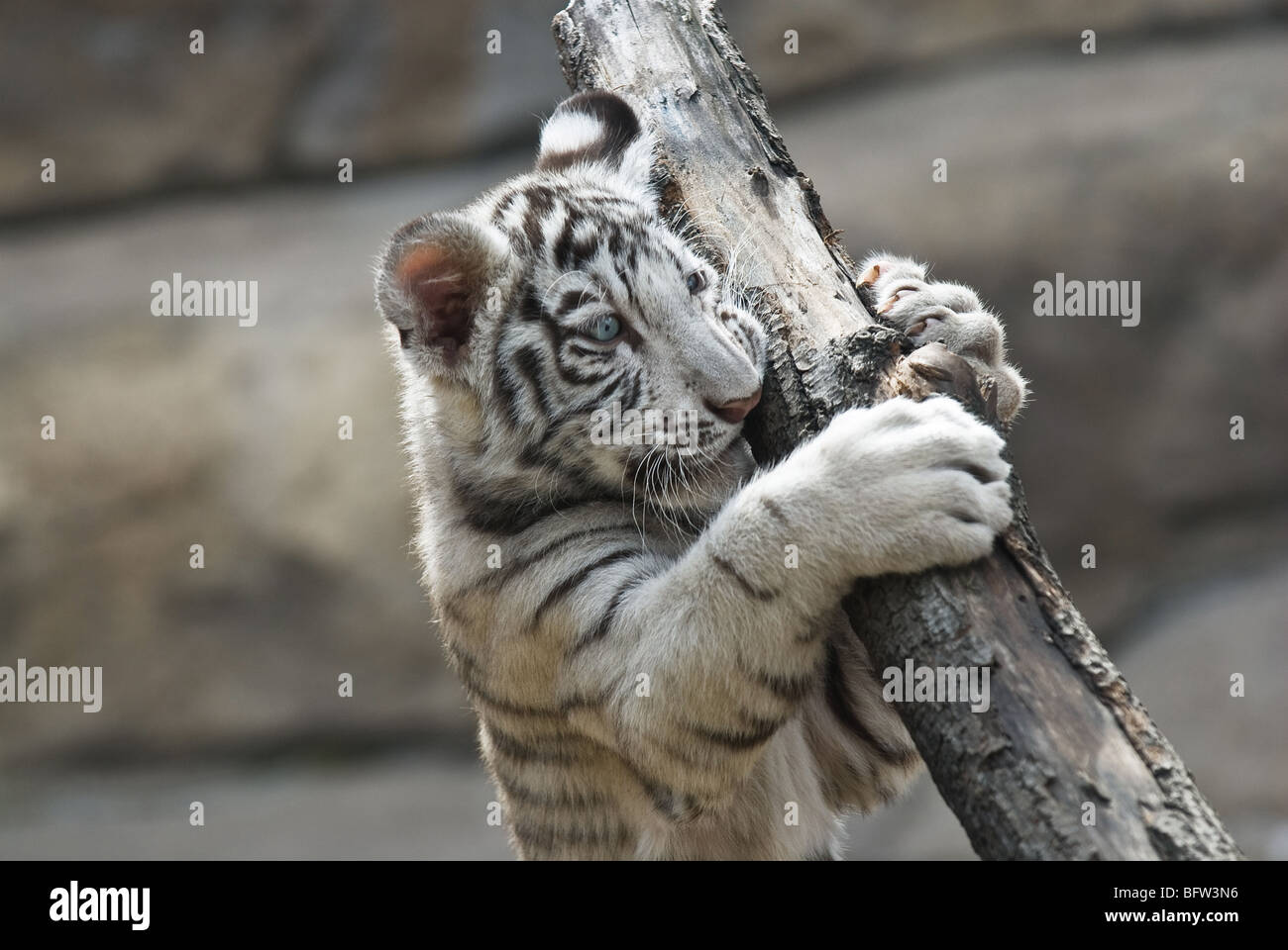 Tigre blanco Imagen De Stock