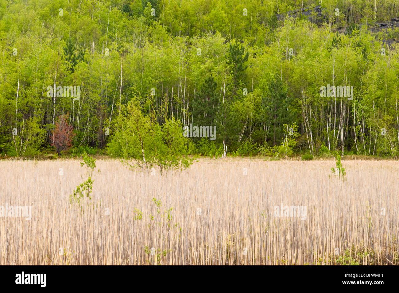 A comienzos de la primavera de color común y colonia reed en el borde del lago Robinson, mayor en Sudbury, Imagen De Stock