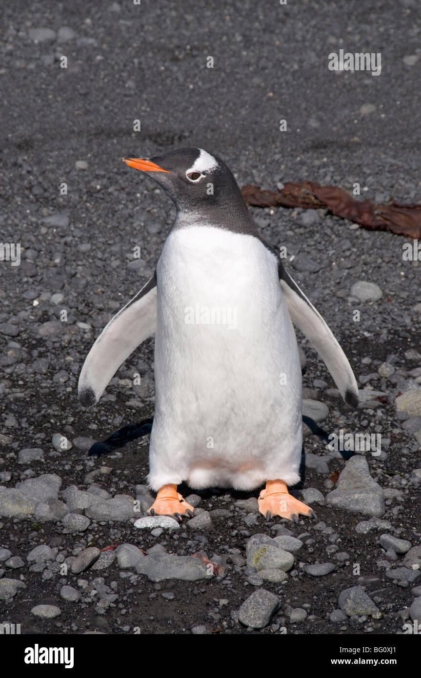 Pingüinos en Brown Bluff, en la Península Antártica, en la Antártida, las regiones polares Imagen De Stock