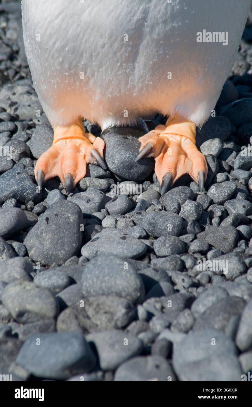 Los pies de pingüinos Gentoo en Brown Bluff, en la Península Antártica, en la Antártida, las Imagen De Stock