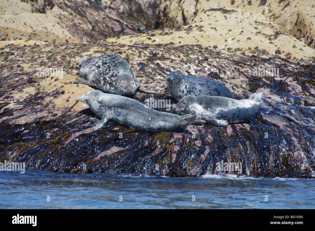 Las focas grises, Islas Scilly, Cornwall, Reino Unido, Europa Imagen De Stock