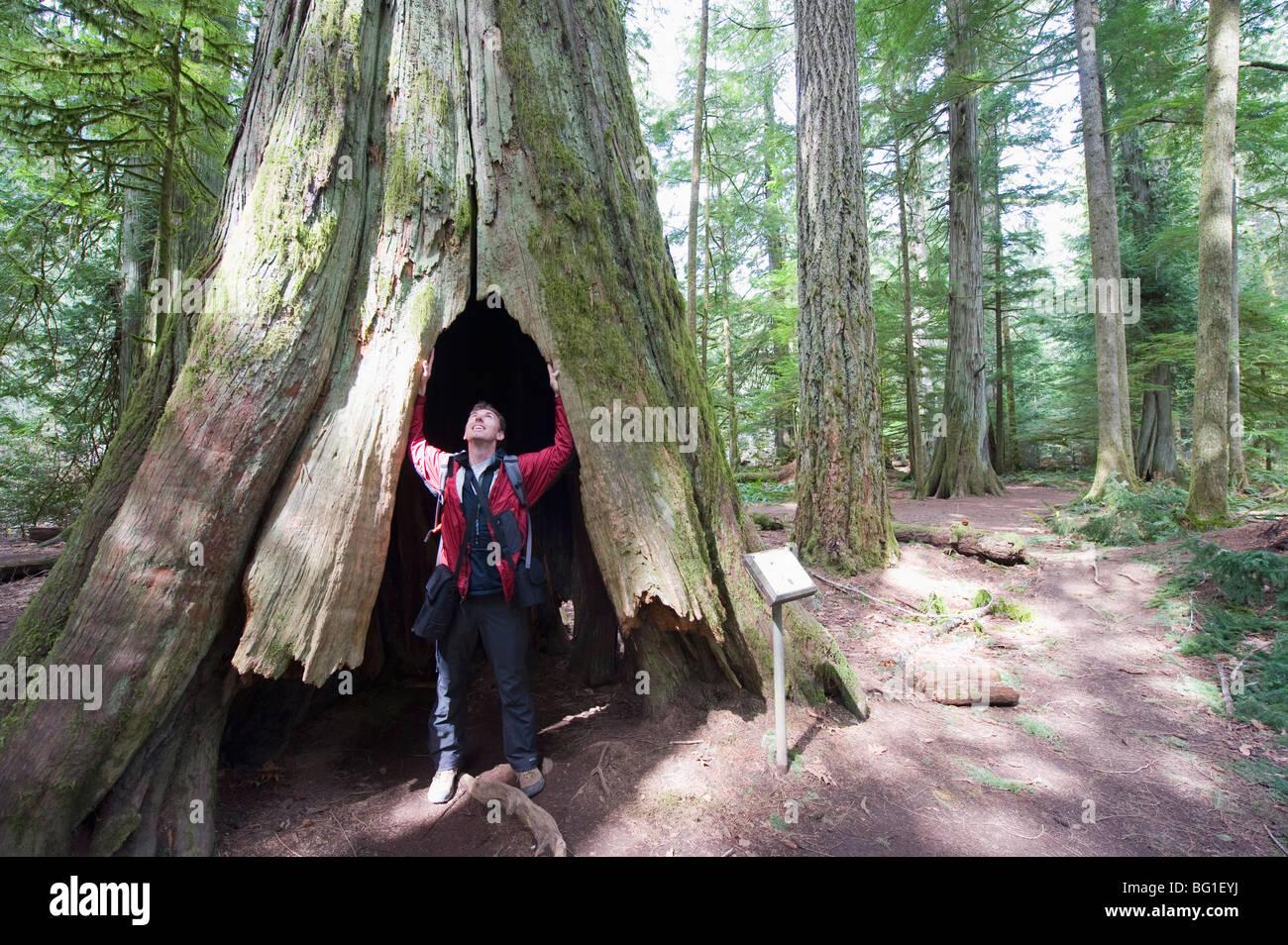 Un excursionista en un tronco de árbol hueco, Catedral Grove, MacMillan Provincial Park, la isla de Vancouver, Imagen De Stock