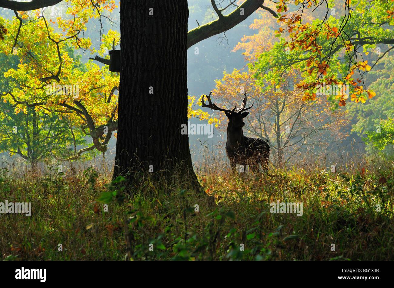 Ciervos, parque favorito, Ludwigsburg, Baden-Wurttemberg, Alemania, Europa Foto de stock