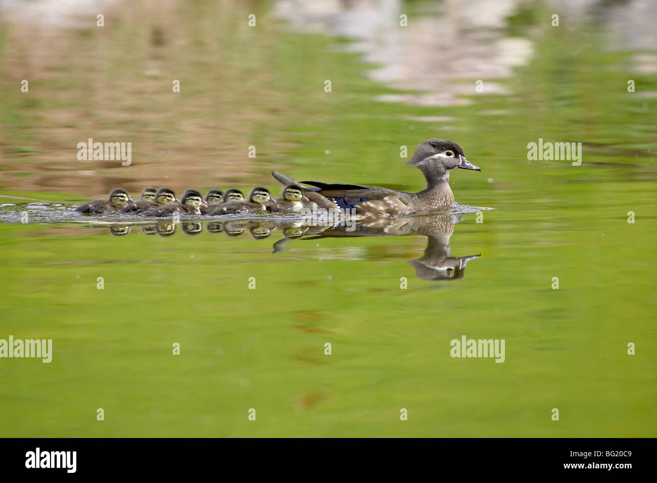 Pato de madera (Aix sponsa) gallinas y patos nadando, Arapahoe County, Colorado, Estados Unidos de América, Imagen De Stock