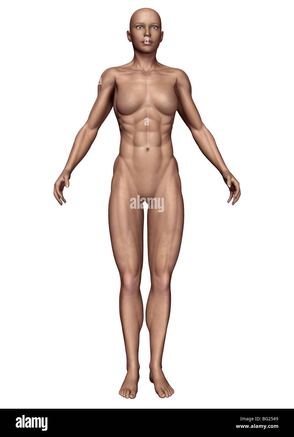 Ilustración de un cuerpo humano femenino tipo: mesomorph Foto ...
