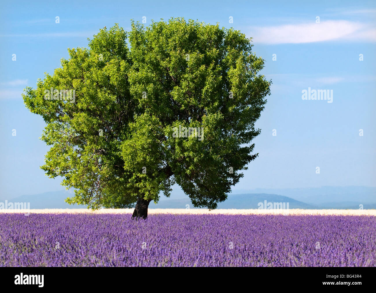 Árbol en un campo lila, Valensole meseta, Provence, Francia Imagen De Stock