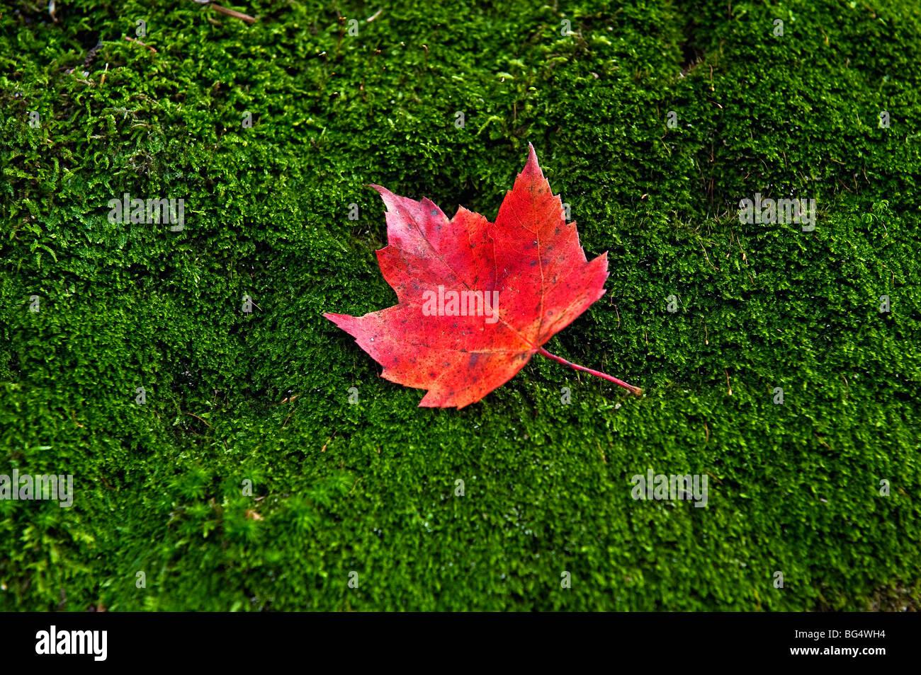 Hoja de arce rojo sobre un lecho de musgo verde Foto & Imagen De ...