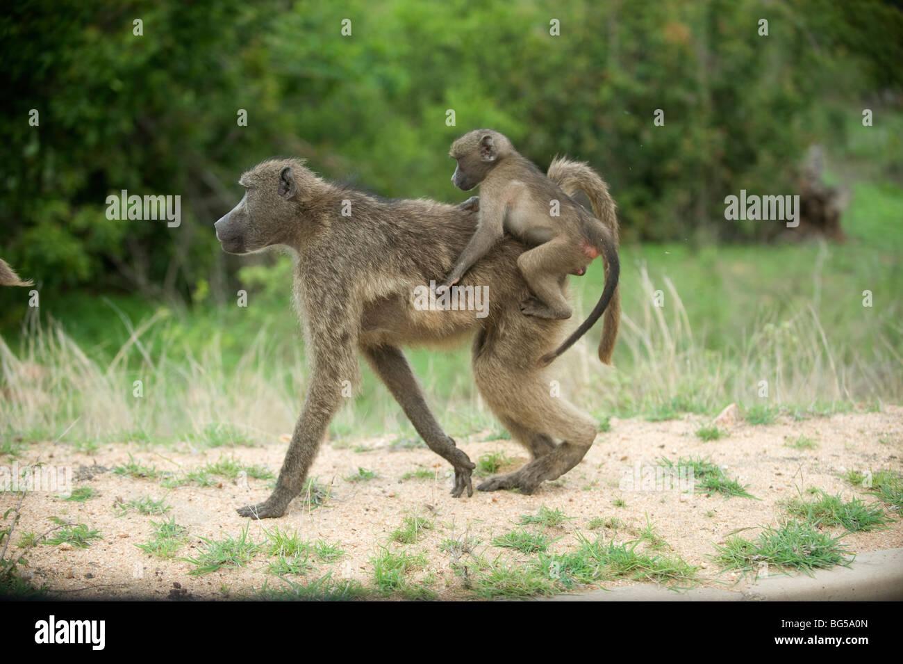 Babuinos a la madre y al bebé, el Parque Nacional Kruger. Sudáfrica/ Imagen De Stock