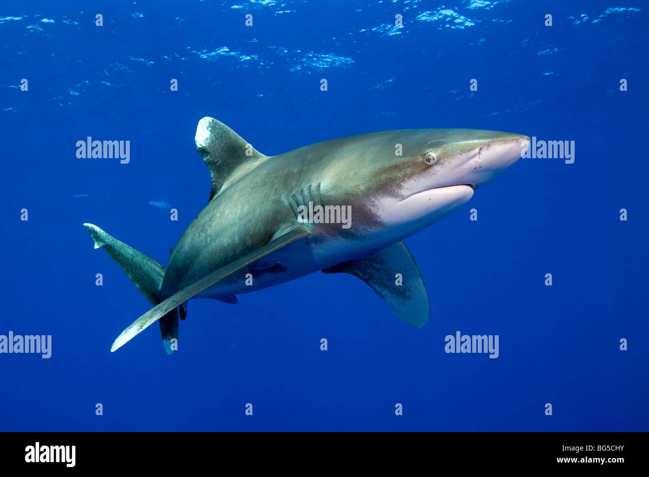 El tiburón oceánico de punta blanca en el Mar Rojo, Egipto, submarino, depredador, aturdido, agua azul, Imagen De Stock