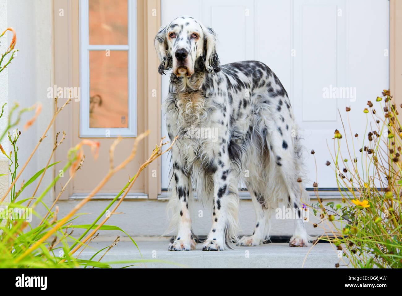 Perro por la puerta Imagen De Stock