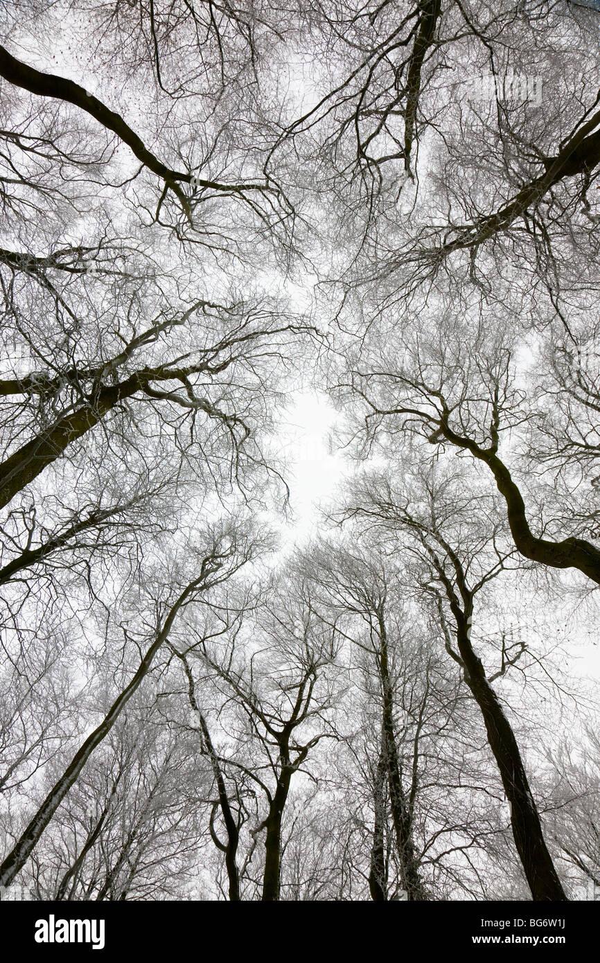 Mirando hacia arriba en el árbol de invierno techado, Gloucestershire, Reino Unido Imagen De Stock