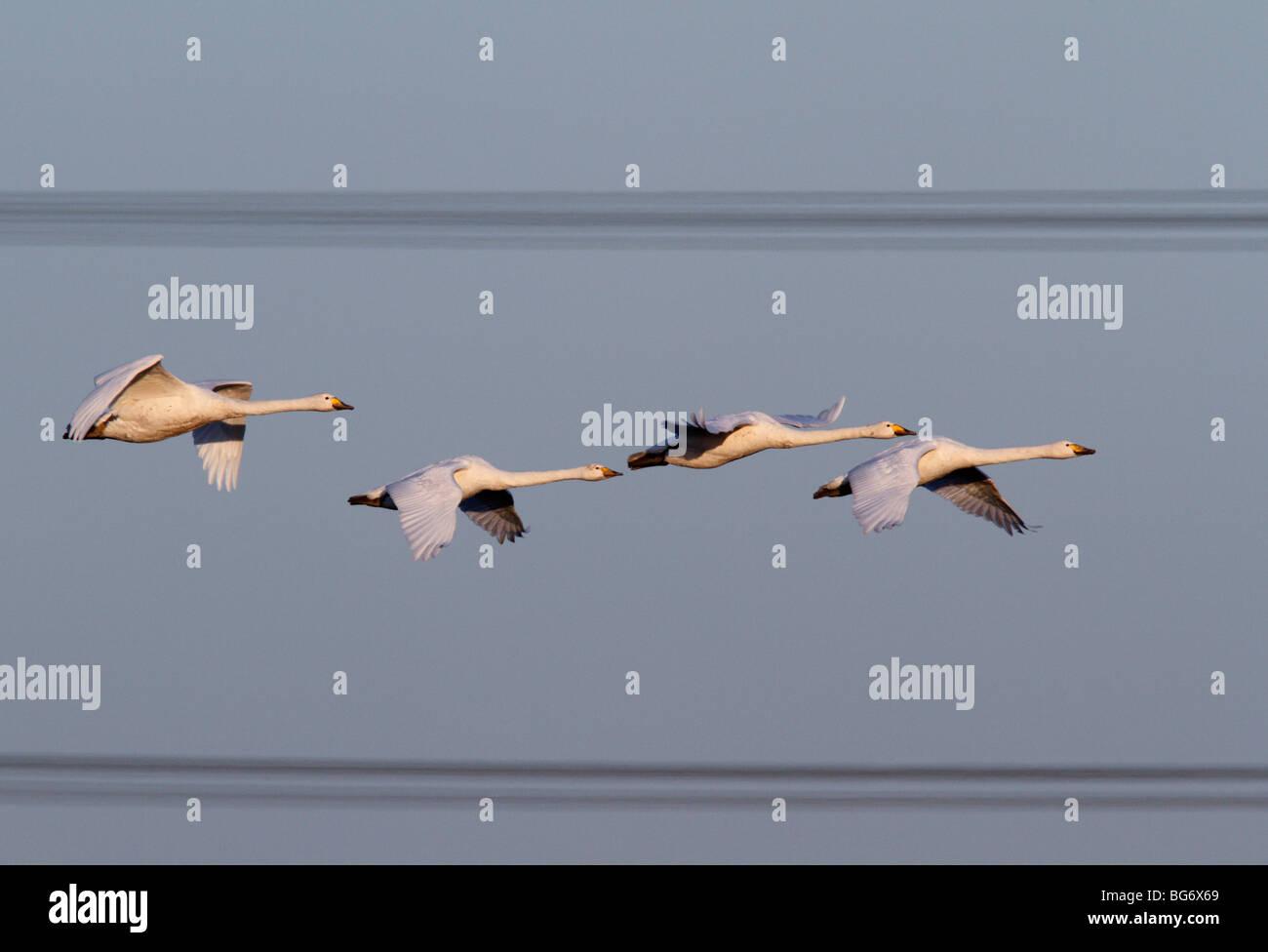 Cisnes cantores Cygnus cygnus vuelo cables de alimentación Imagen De Stock