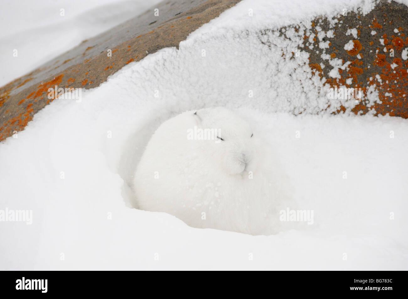 La liebre ártica (Lepus arcticus) Tomar refugio del viento en lee de boulder Churchill Manitoba Canada Imagen De Stock