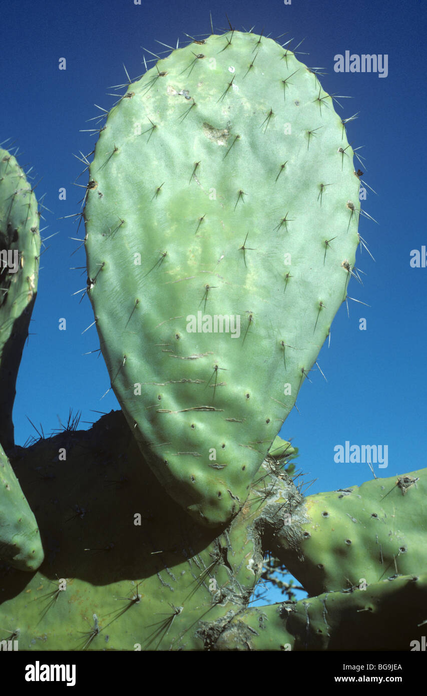 Hinchado tallo espinoso plana de un cactus (Opuntia ficus indica), Marruecos, Norte de África Imagen De Stock