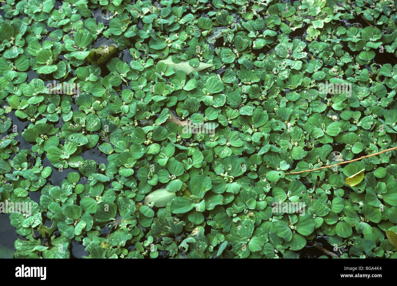 La lechuga de agua (Pistia stratiotes) plantas acuáticas flotantes, Tailandia Imagen De Stock