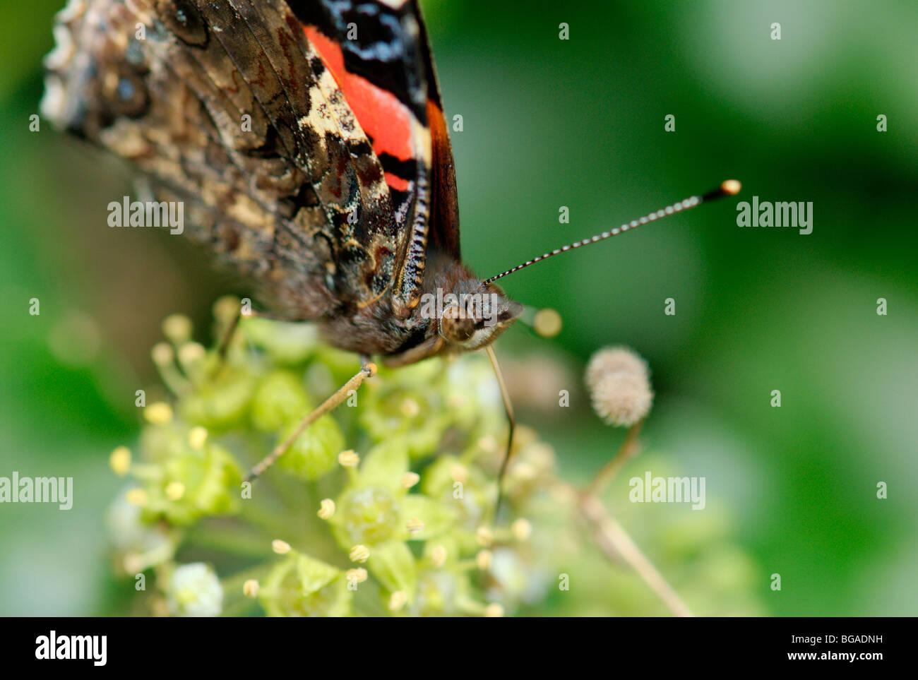 Almirante rojo butterfly (Vanessa Atlanlanta). Cerca de la cabeza. Foto de stock