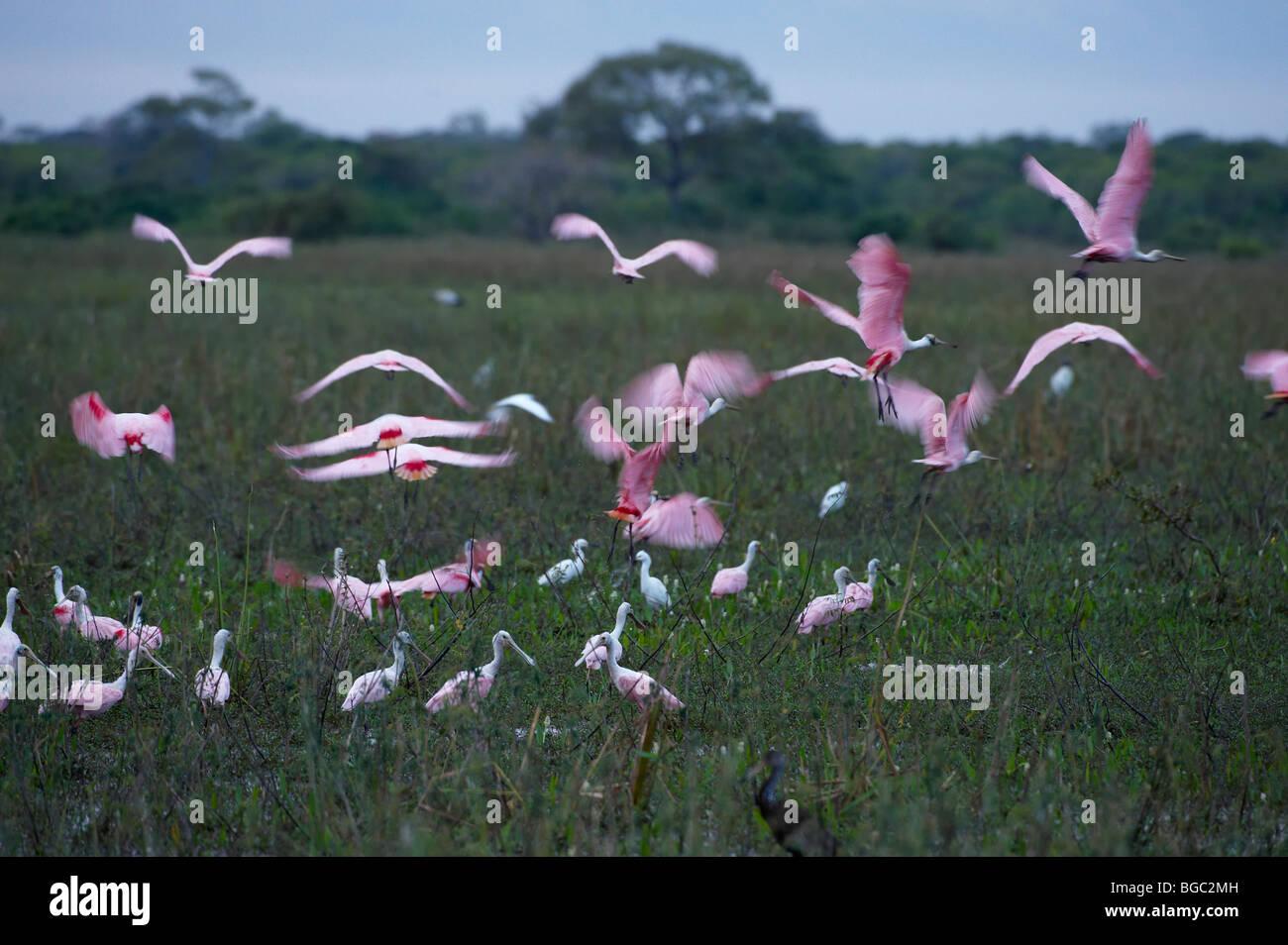 Flying espátulas rosadas, Ajaja ajaja desenfoque de movimiento, el pantanal de Mato Grosso, Mato Grosso, Brasil, Foto de stock