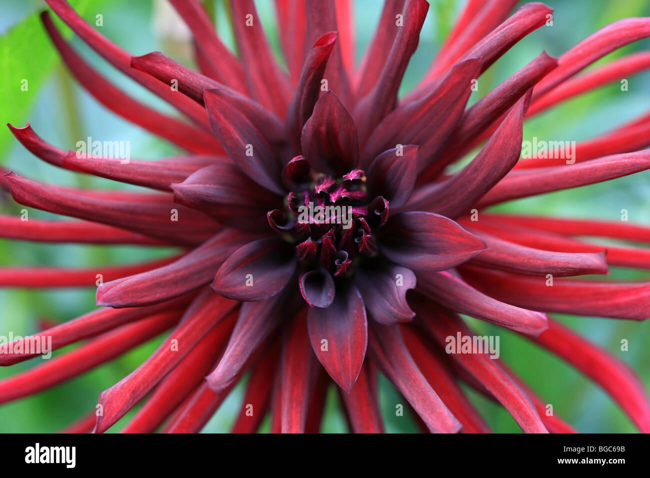 Dalia Cactus Orfeo rojo escarlata flor de verano Imagen De Stock