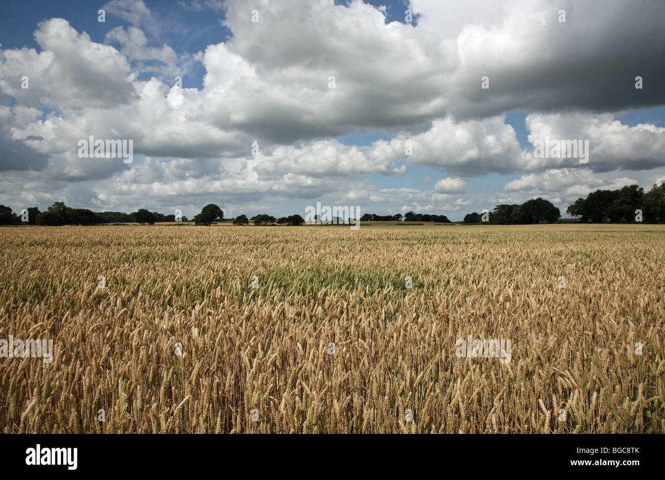 Un campo de cebada en Cheshire, Inglaterra en un día de verano con el cielo azul y las nubes blancas Imagen De Stock