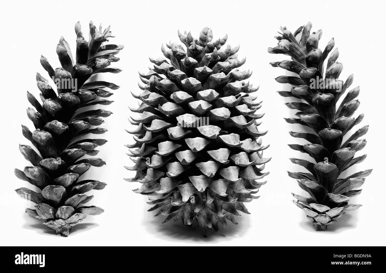 Coulter Pine Cone con conos de pino blanco Oriental sobre fondo blanco. Imagen De Stock