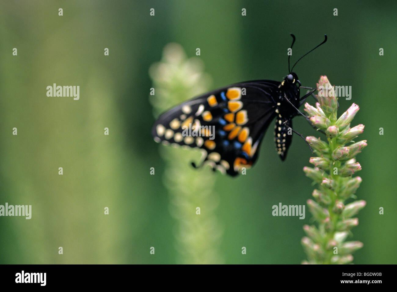 Parque Zoológico Woodland E. exhibición de mariposas Papilio polyxenes Especie () que aterrizaba en flor de Seattle, Washington State EE.UU. Foto de stock