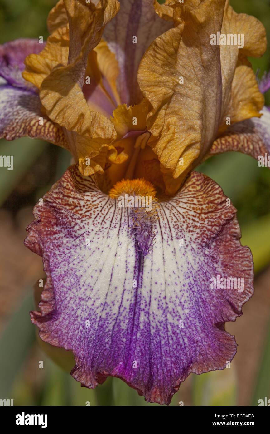 Primer plano de un púrpura y oro iris Foto de stock