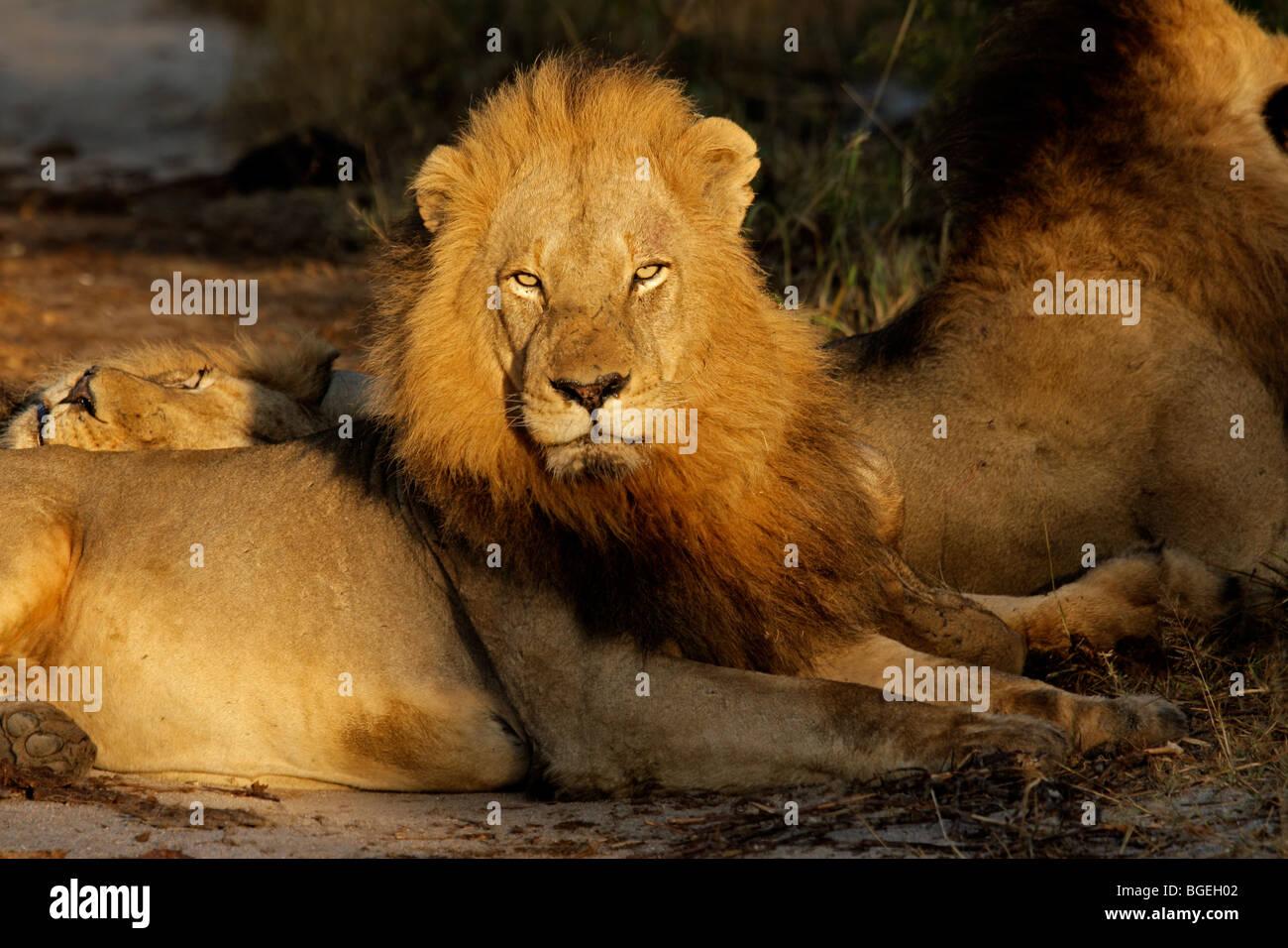 Retrato de un gran macho león africano (Panthera leo), el Parque Nacional Kruger, Sudáfrica Imagen De Stock