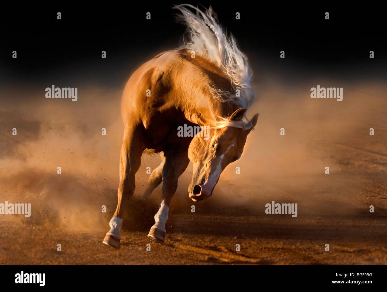 Semental Palomino Imagen De Stock
