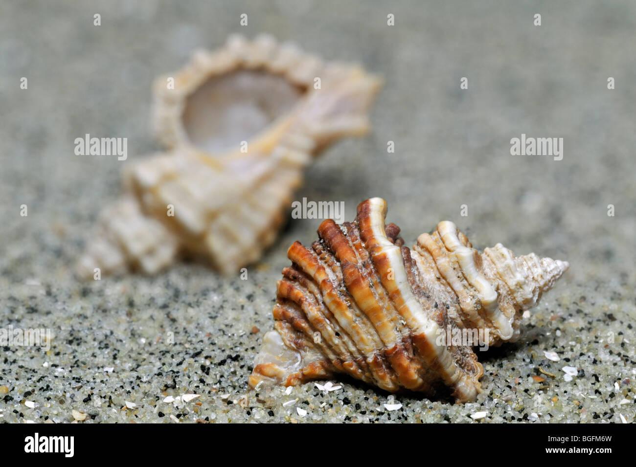 Sting winkle / taladro / Erizo Oyster Murex (Ocenebra erinacea), sobre la playa, Bretaña, Francia Foto de stock