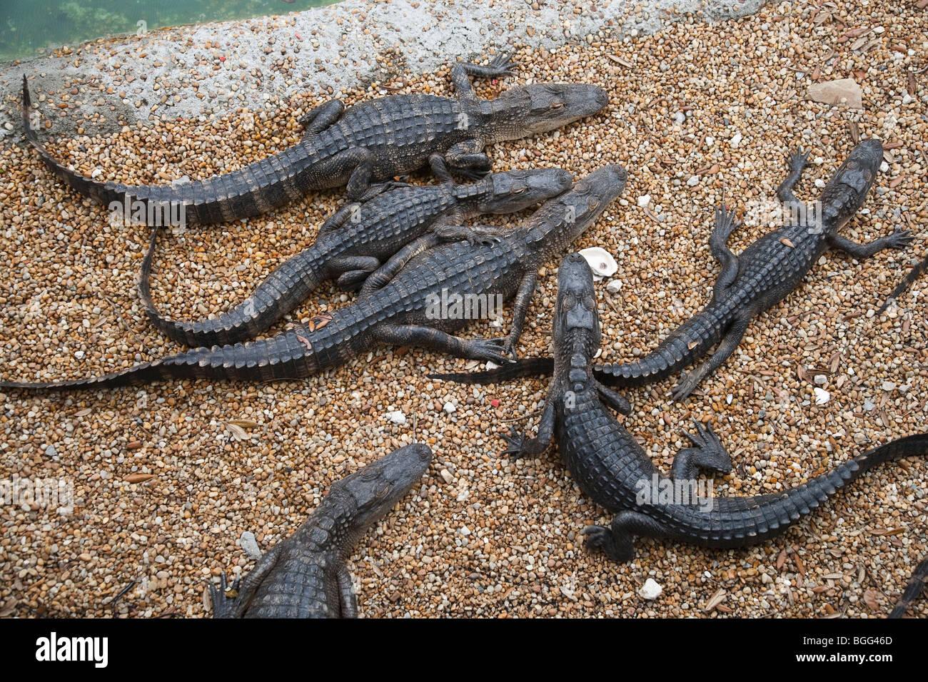 En la Granja de Lagartos de reptiles. Imagen De Stock