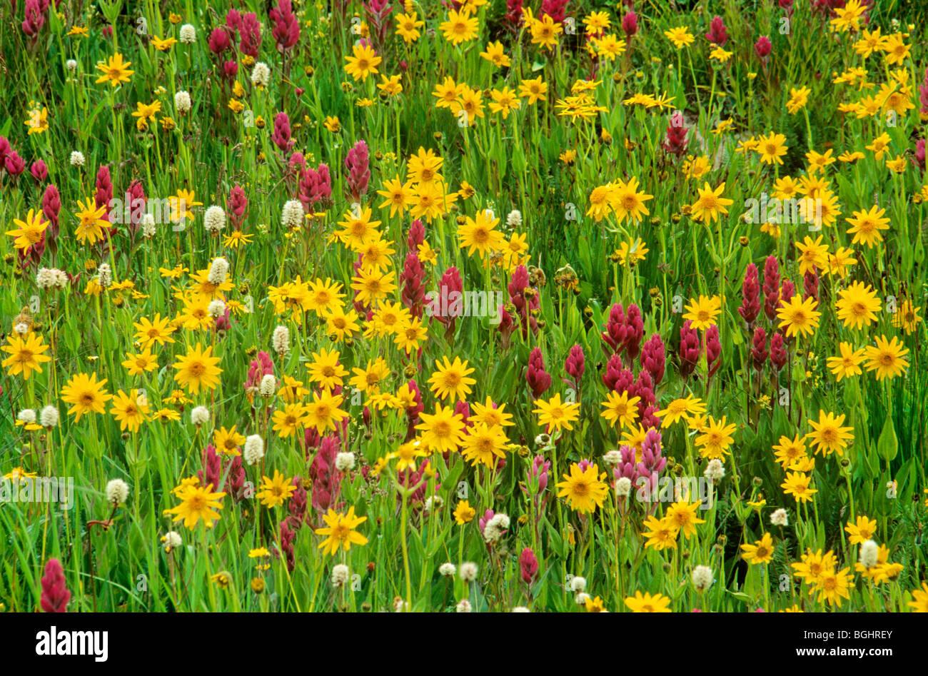 Flores silvestres en la pradera alpina en Yankee Boy Basin, cerca de Ouray, Colorado, EE.UU. Imagen De Stock
