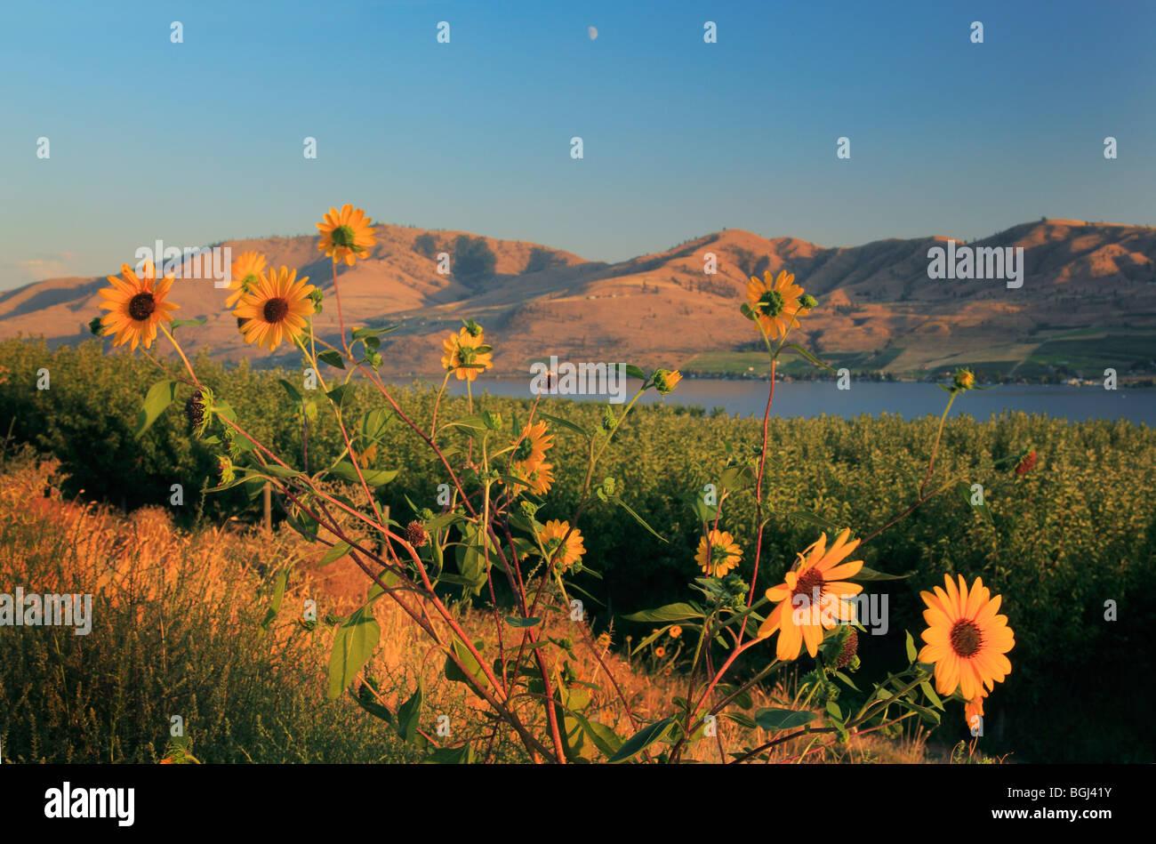 Los girasoles, cerca del lago Chelan en el oriental estado de Washington Imagen De Stock