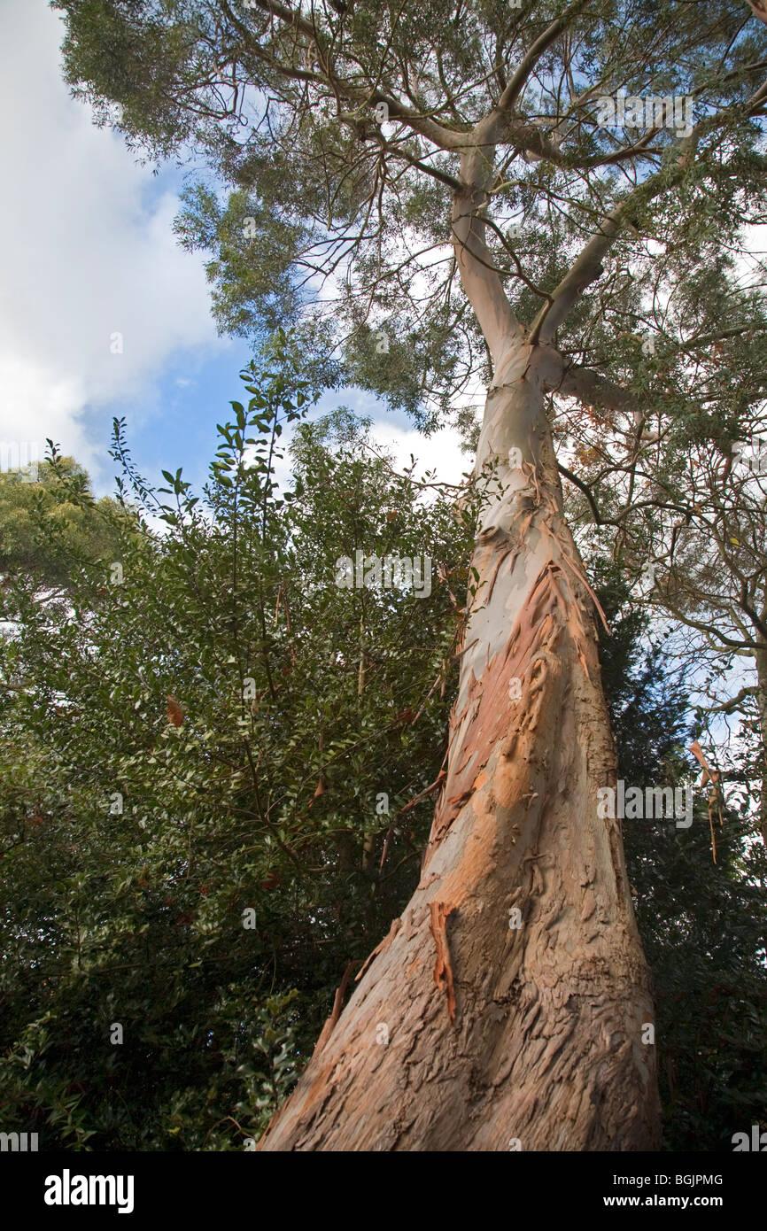 Árbol de eucalipto Imagen De Stock