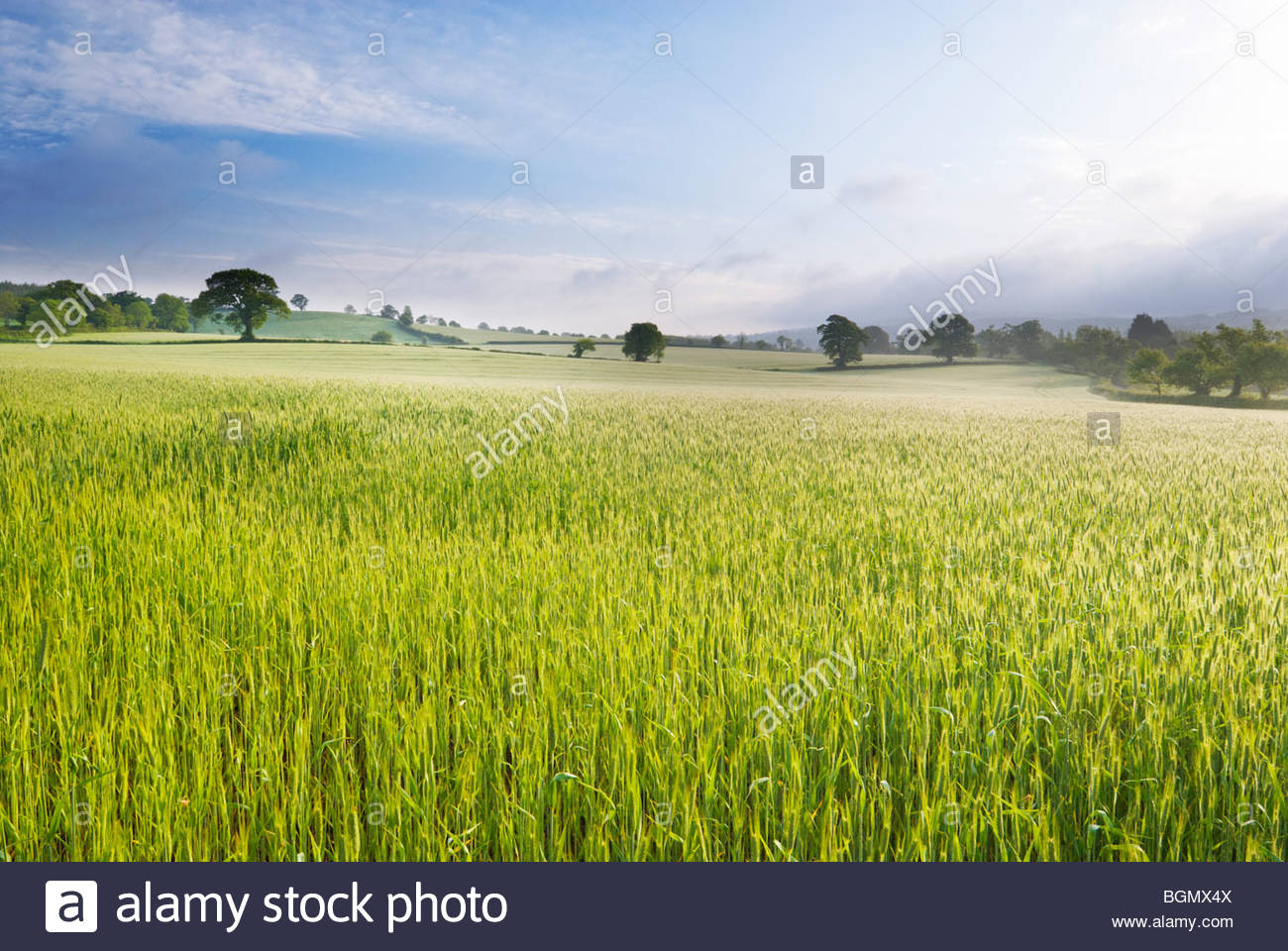 Campo de trigo, cerca de Budleigh Salterton, East Devon, Inglaterra. Imagen De Stock
