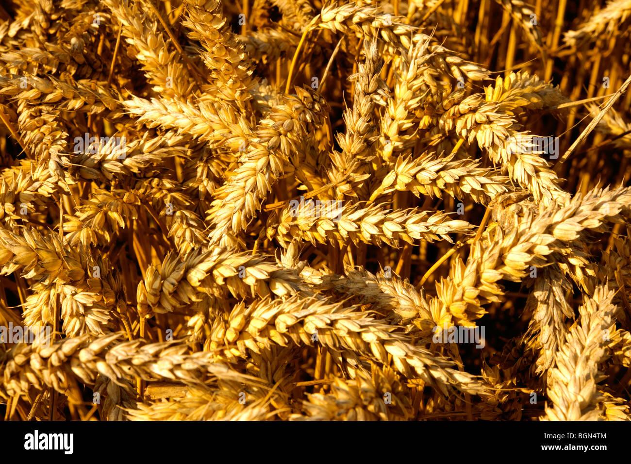 Trigo maduros (maíz) en un campo listo para cosechar Imagen De Stock