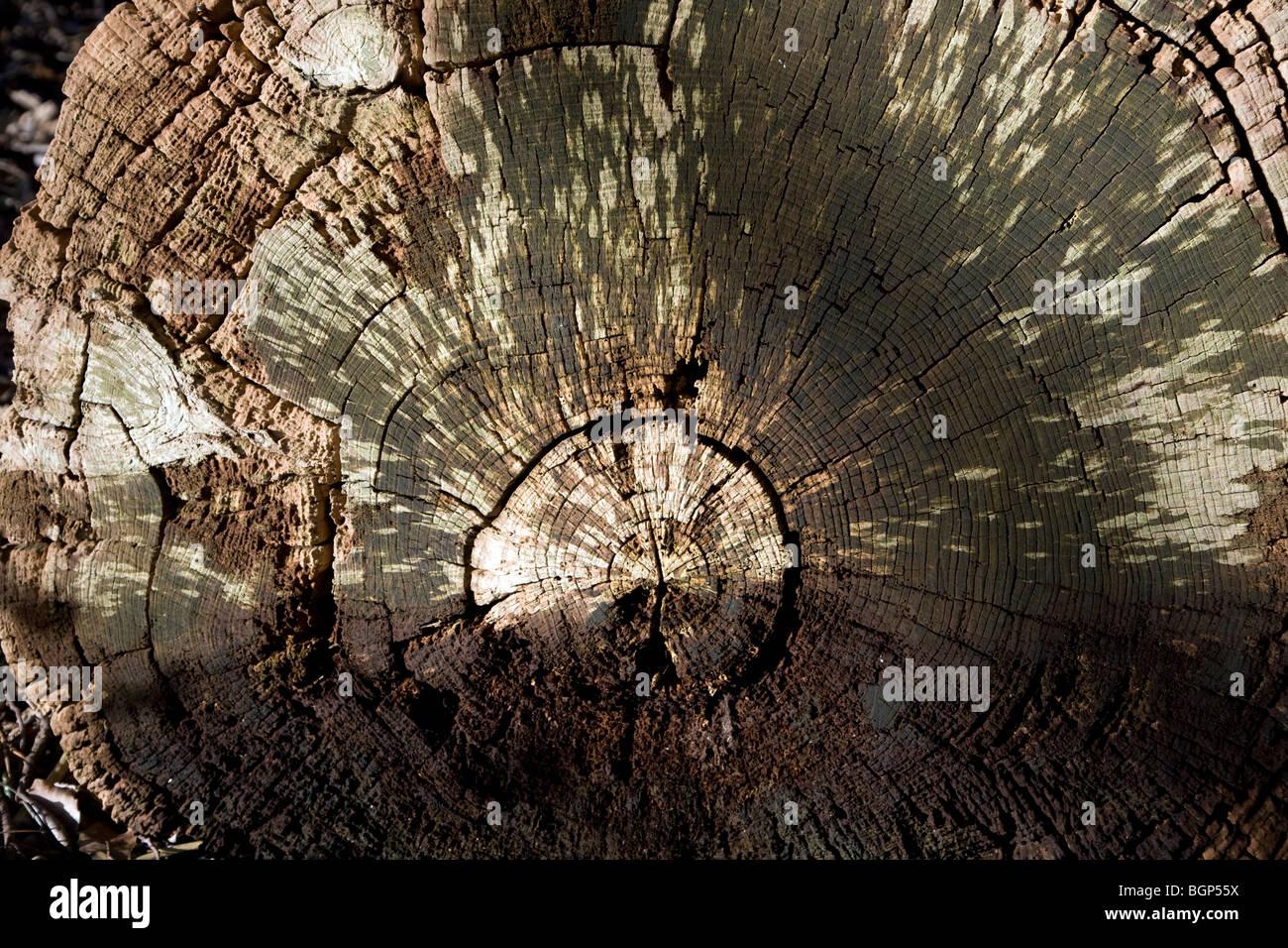 Patrones de anillos de árbol en árbol podrido Imagen De Stock