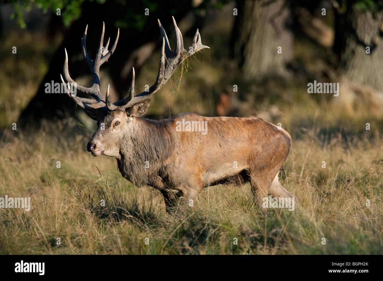 Ciervo rojo (Cervus elaphus) stag durante la rutina en otoño, Dinamarca Foto de stock