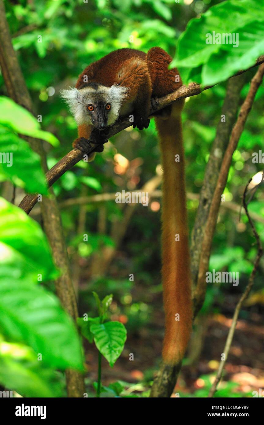 Lemur negro (Eulemur macaco macaco), hembra, Lokobe Naturaleza Reserva Especial, Nosy Be, en el norte de Madagascar Foto de stock