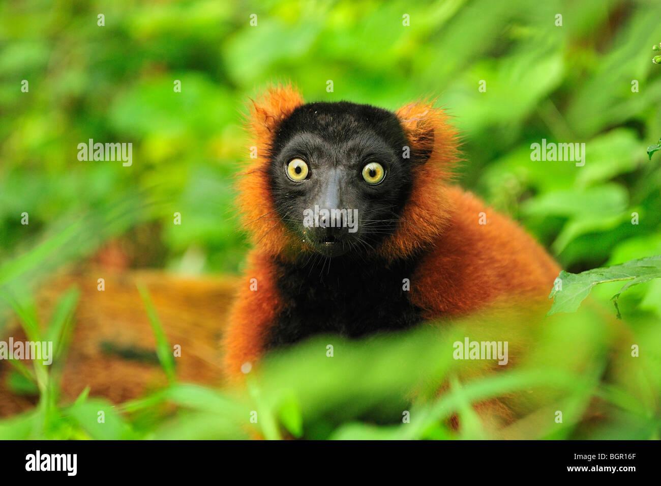 Rojo Ruffed Lemur (Varecia rubra), el adulto, el Parque Nacional de Masoala, Madagascar Foto de stock