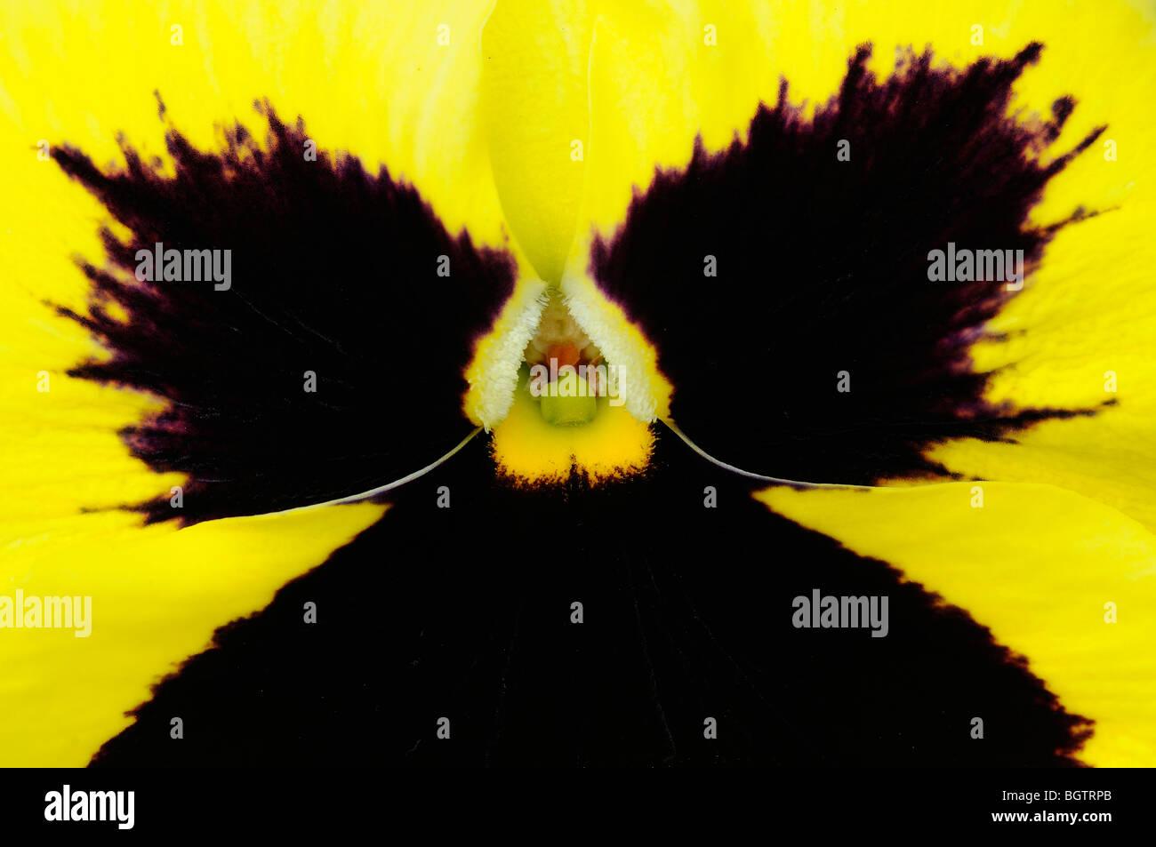Pansy viola o Amarilla Flor, close-up, Oxfordshire, Reino Unido. Foto de stock
