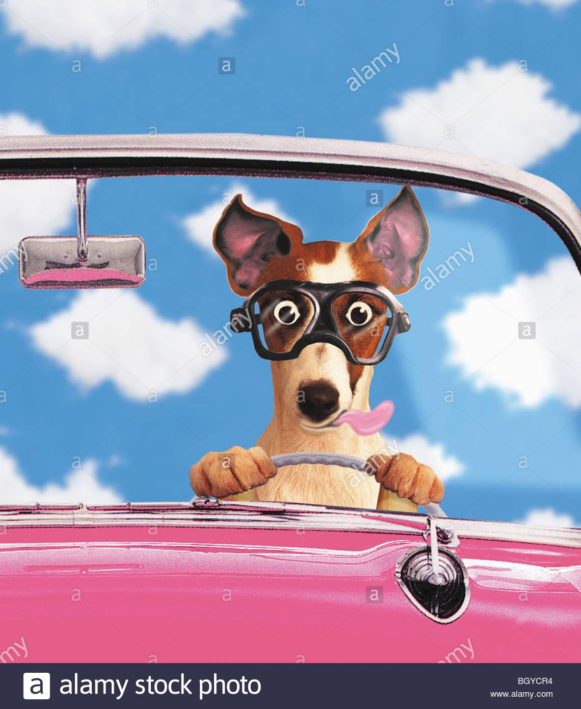 Conducción del perro coche convertible Imagen De Stock