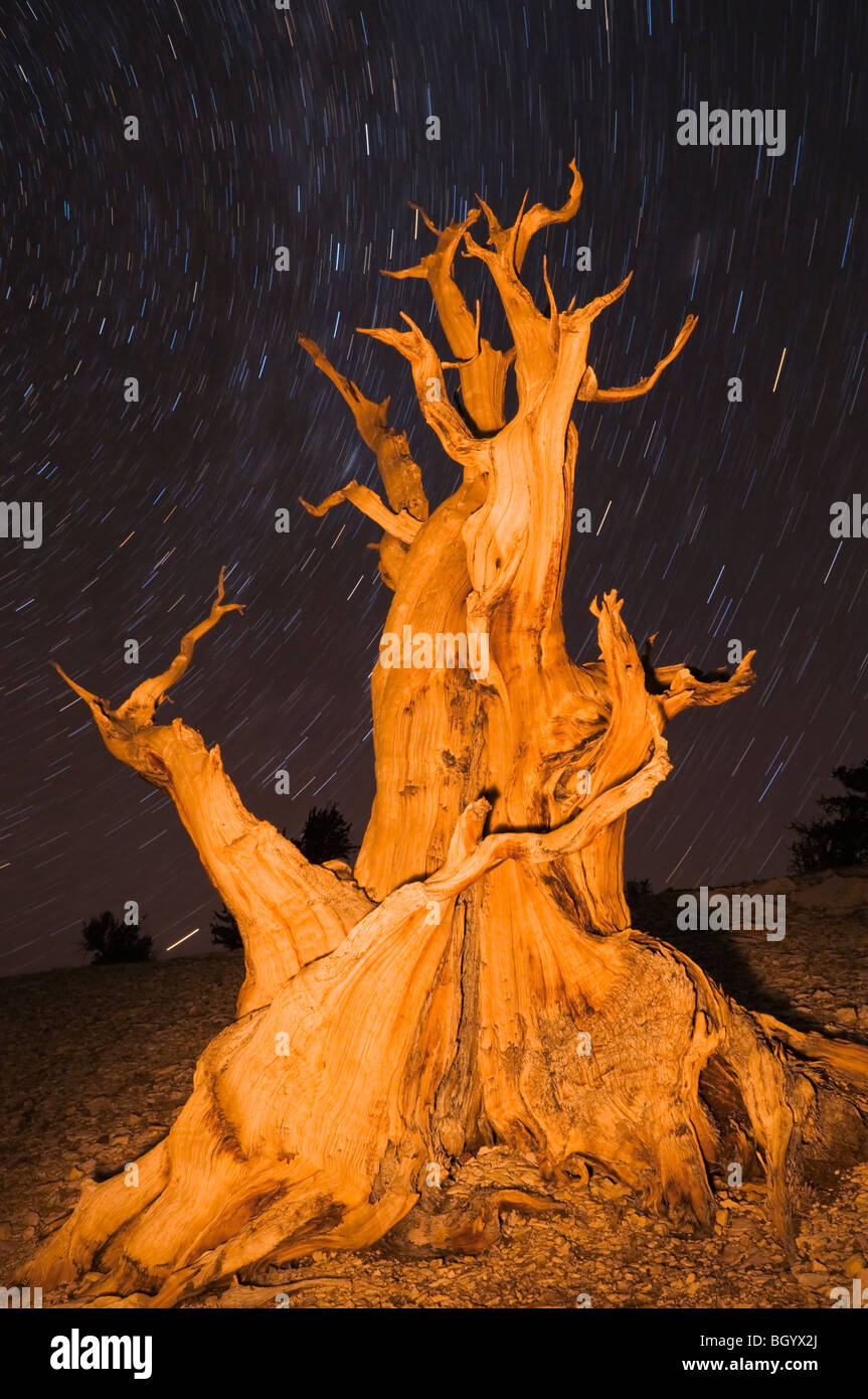 Antiguo pino bristlecone (Pinus longaeva) en el Patriarca Grove, antiguo bosque de pinos bristlecone, White Mountains, California Foto de stock
