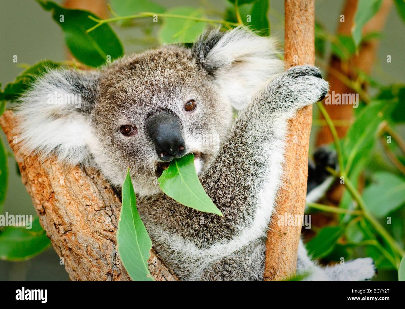 Un koala sentado en un árbol comiendo una goma de mascar la hoja y mirando directamente a la cámara. Imagen De Stock